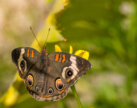 Buckeye butterfly perched against yellow and green background