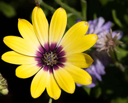full frame shot of yellow wildflower with purple center Banco de Imagens