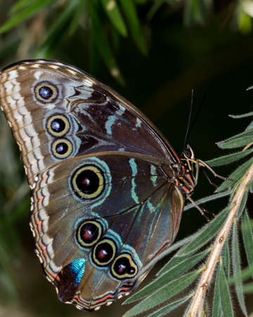 Brightly colored blue morpho butterfly