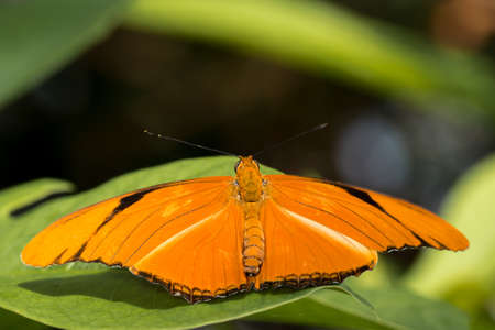 Bright orange Julia butterfly perched on a green leaf.