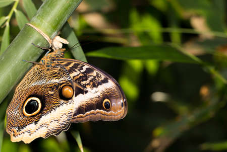Magnificent owl butterfly with closed wings Banco de Imagens