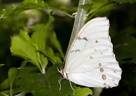 White morpho butterfly with closed wings Banco de Imagens