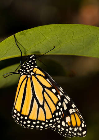 Common monarch butterfly perched upside down 免版税图像