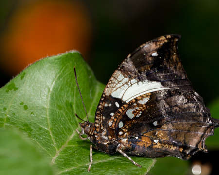 Silver-studded leafwing is another butterfly that blends in well with dark leaves