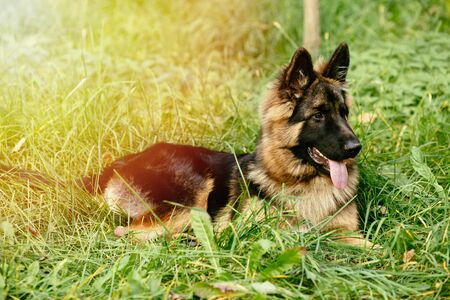 Beautiful German Shepherd lying on grass in park