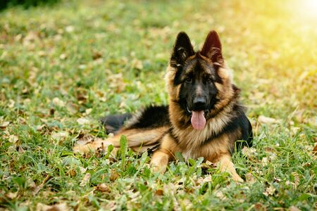 Dog German Shepherd lying on grass in park Banco de Imagens
