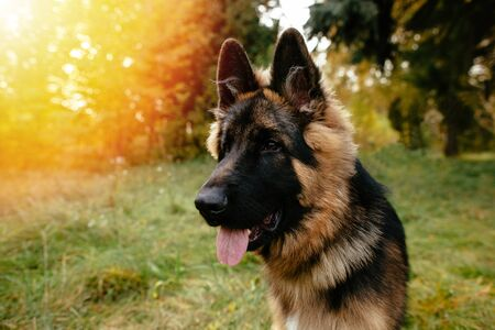 Portrait of young dog German Shepherd at sunset Banco de Imagens - 129734447