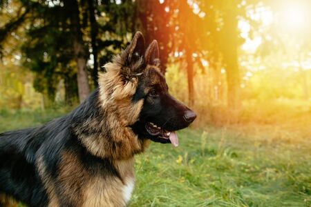 Beautiful young dog German Shepherd at sunset. Side view