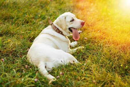 Beautiful dog Labrador retriver lying on grass at sunset