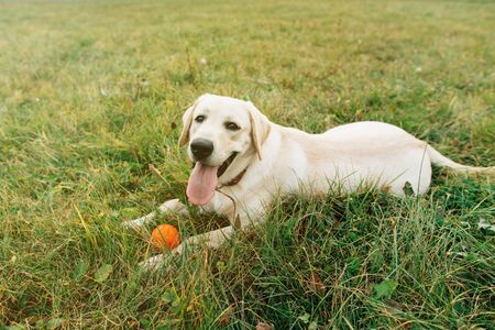 Beautiful dog labrador lying on grass with orange ball at sunset