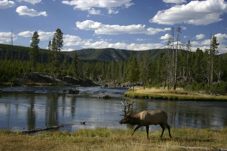 Elk and River. Yellowstone National Park