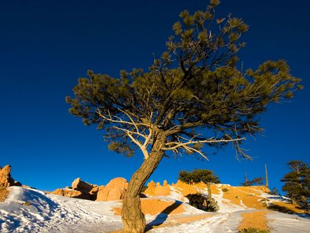 A tree at sunrise in winter. Bryce Canyon National Park, Utah, USA