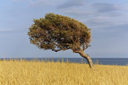 A solitary tree near Melanda beach, in the southern coast of Cyprus. Фото со стока - 11740971