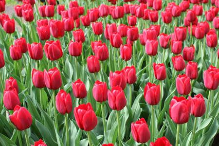 keukenhof: Red Tulips on a sunny day near Keukenhof