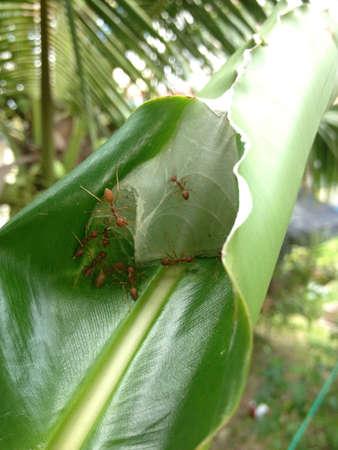 weaver: Weaver ants nest