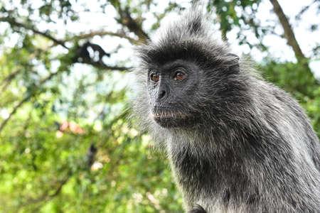 silvered: Silvered leaf Monkey at Melawati Hill, Kuala Selangor, Malaysia
