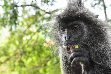 Silvered leaf Monkey at Melawati Hill, Kuala Selangor, Malaysia