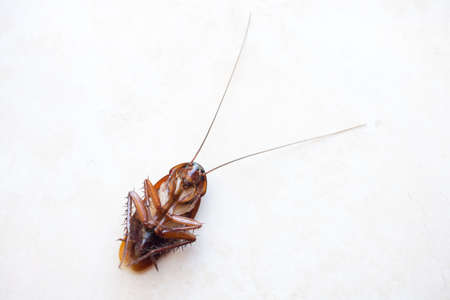 Death cockroach on the floor, pest control concept Stock Photo