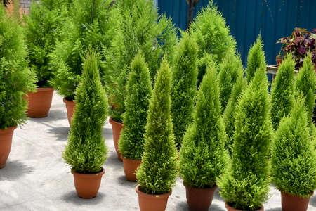 Casuarina trees in the pot Rhu tree Stock Photo