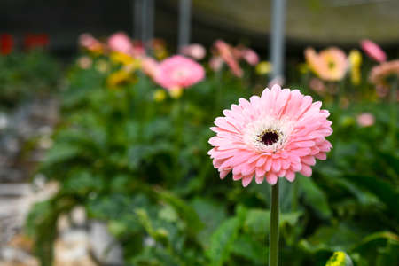 Colorful Gerbera flower or daisy standing in the greenhouse farm Stock Photo