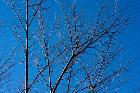 Bare tree tops with no leaves in woods in winter