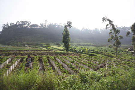 Beautiful view of Vegetable farm located at Bandung, Indonesia