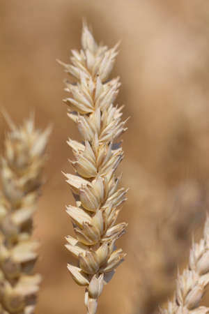 carbohydrates: One wheat plant in nature. Macro photography of the grain. Healthy organic carbohydrates nutrition Stock Photo