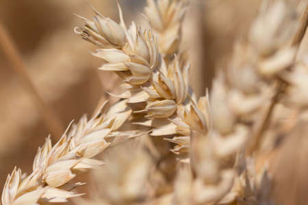 carbohydrates: Golden staple wheat at harvest for Thanksgiving in autumn. Macro photography of the grain. Healthy organic carbohydrates nutrition Stock Photo