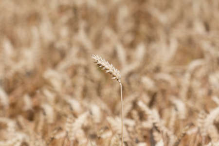 carbohydrates: Single wheat in front of golden field in case. Macro photography of the grain. Healthy organic carbohydrates nutrition