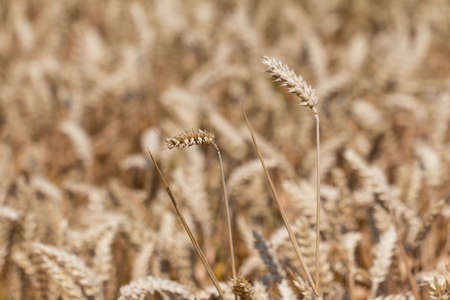 carbohydrates: Golden white wheat field at harvest time. Macro photography of the grain. Healthy organic carbohydrates nutrition