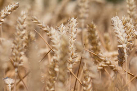 carbohydrates: Many wheat plants in case ready for harvesting. Macro photography of the grain. Healthy organic carbohydrates nutrition Stock Photo