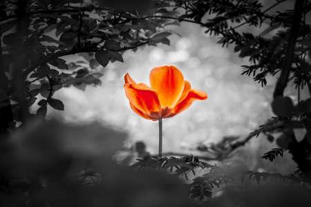 Rote Tulpe Auferstehung in schwarz weiß für Frieden Liebe Hoffnung. Die Blume ist ein Symbol für die Kraft des Lebens und der Seele und die Kraft über Trauer und Leid. Es symbolisiert auch die Heilung von Stress oder Burnout. Standard-Bild