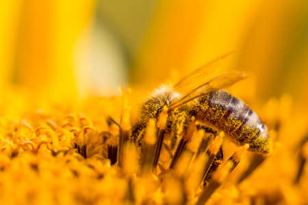 Honey bee covered with yellow pollen collecting nectar in flower. Animal is sitting collecting in sunny summer sunflower. Important for environment ecology sustainability. Awareness of climate change.