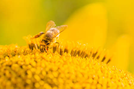 Honey bee collecting yellow summer sun flower nectar with tongue. Animal is sitting collecting in sunny summer sunflower. Important for environment ecology sustainability. Awareness of climate change. 写真素材