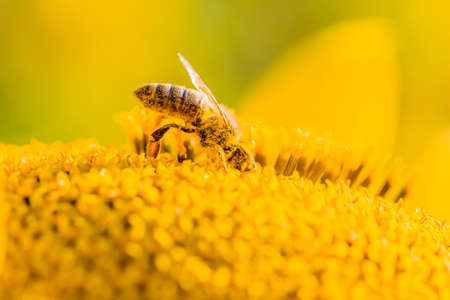 Honey bee covered with yellow pollen collecting nectar in flower. Animal is sitting collecting in sunny summer sunflower. Important for environment ecology sustainability. Awareness of climate change. Foto de archivo - 97845009