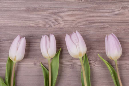 Four pink pastel spring love tulips parallel in row closeup . Beautiful present symbol flowers for valentines day, mothers day, wedding, birthday, easter, girlfriend, wife or sweetheart. Wooden background and copyspace.