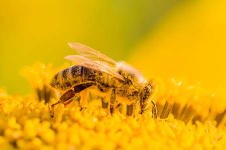Honey bee covered with yellow pollen collecting nectar in flower. Animal is sitting collecting in sunny summer sunflower. Important for environment ecology sustainability. Awareness of climate change. Foto de archivo - 99393719