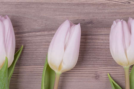Three pink pastel spring love tulips parallel in row closeup . Beautiful present symbol flowers for valentines day, mothers day, wedding, birthday, easter, girlfriend, wife or sweetheart. Wooden background. Reklamní fotografie