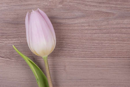 Beautiful spring love symbol tulip blossom present on wood. Wonderful flower gift symbol for valentines day, mothers day, wedding, birthday, girlfriend, wife or sweetheart. Wooden background. Copysp
