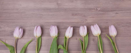 Seven pink pastel spring love tulips parallel in row panorama. Beautiful present symbol flowers for valentines day, mothers day, wedding, birthday, easter, girlfriend, wife or sweetheart. Wooden bac
