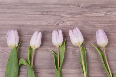 Five pink pastel spring love tulips parallel in row closeup . Beautiful present symbol flowers for valentines day, mothers day, wedding, birthday, easter, girlfriend, wife or sweetheart. Wooden back