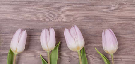 Four pink pastel spring love tulips parallel in row panorama. Beautiful present symbol flowers for valentines day, mothers day, wedding, birthday, easter, girlfriend, wife or sweetheart. Wooden back 写真素材