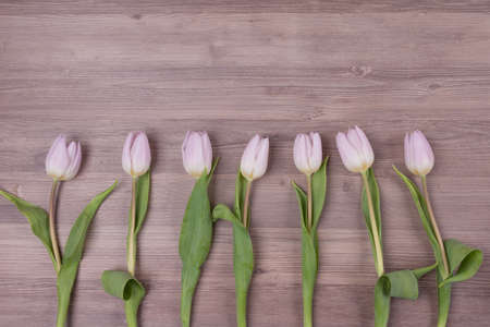Seven pink pastel spring love tulips parallel in row closeup . Beautiful present symbol flowers for valentines day, mothers day, wedding, birthday, easter, girlfriend, wife or sweetheart. Wooden bac