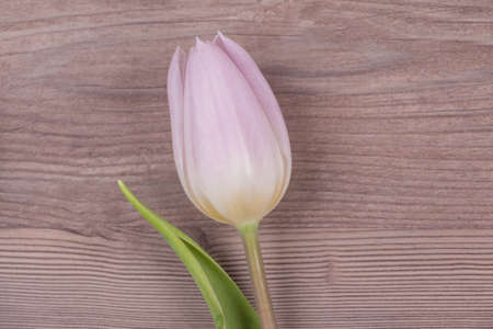 Wonderful spring love symbol tulip blossom present on wood. Beautiful flower gift symbol for valentines day, mothers day, wedding, birthday, girlfriend, wife or sweetheart. Wooden background. 写真素材