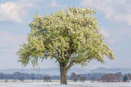Climate change scene of spring summer tree in winter landscape. Global warming weather with single big tree in nature. Artificial ecology scene shows warm blooming blossoms and cold snowy ground.