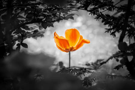 Orange tulip soul in black white for peace heal hope. The flower is symbol for power of life and mind strength beyond grief death and sorrows. So symbolizes healing of stress or burnout.