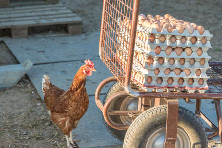 Single chicken besides range of brown fresh eggs at farm. Domestic hen looking at rural agriculture wheelbarrow. Ecological animal farming and self sufficiency by sustainable fowl livestock.