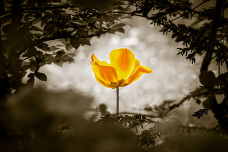 Yellow tulip soul in black white for peace heal hope. The flower is symbol for power of life and mind strength beyond grief death and sorrows. So symbolizes healing of stress or burnout.