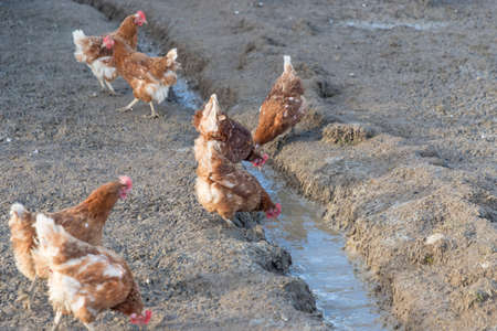 Brown chickens live outdoors at bio poultry farm dirt mud. Rural agriculture scene with free happy hens outdoor. Ecological animal farming and self sufficiency by sustainable fowl livestock.