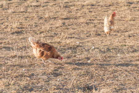 Brown chickens live outdoors at bio poultry farm grass meadow. Rural agriculture scene with free happy hens outdoor. Ecological animal farming and self sufficiency by sustainable fowl livestock.